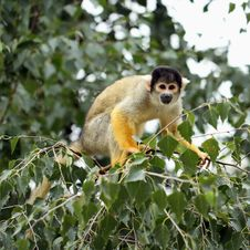 Free Squirrel Monkey Stock Photography - 21145022