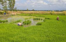 Free Thai Farmers Royalty Free Stock Photography - 21146017