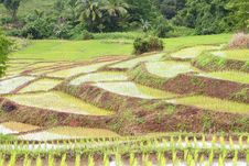 Free Rice Seedlings Royalty Free Stock Images - 21146669
