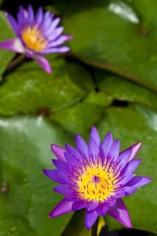 Free Purple Lotus Royalty Free Stock Photography - 21149337