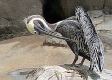 Free Pelican Stock Photography - 21149632