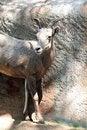 Free Sheep Royalty Free Stock Photography - 21150197