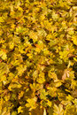 Free Autumn Maple Leaves Royalty Free Stock Photos - 21155758