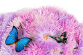 Free Butterflies On The Purple Aster Flowers Stock Images - 21159124