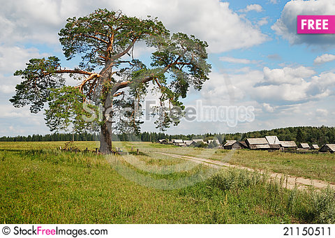 Free Three Hundred Pine On The Outskirts Of The Village Stock Image - 21150511