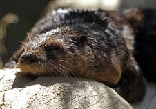 Free Otter Royalty Free Stock Image - 21150376