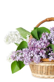 Free Beautiful Lilac Isolated On White Royalty Free Stock Photo - 21151045