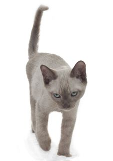 Free Russian Blue Cat Walking Stock Images - 21152534
