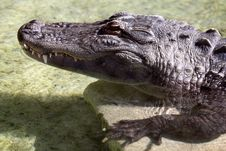 Alligator Royalty Free Stock Image