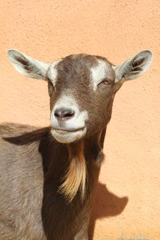 Free Goat Stock Photos - 21153463