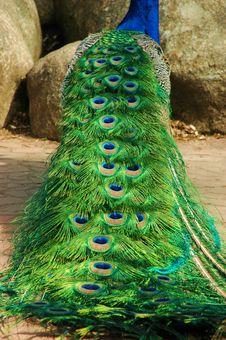 Free Peacock Plume Stock Photos - 21153753