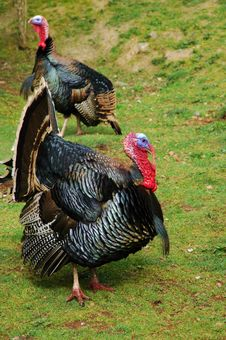 Free Gobble, Gobble Stock Photography - 21154022