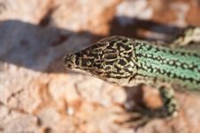 Free Formentera Lizard Royalty Free Stock Images - 21155689