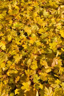 Free Autumn Maple Leaves Royalty Free Stock Photos - 21155758