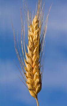 Free Close-up Ear Of Wheat Stock Photography - 21155842