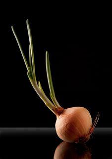 Free Onion, Black Background. Royalty Free Stock Photo - 21155845