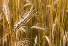 Free Close-up Ear Of Wheat Stock Image - 21155861