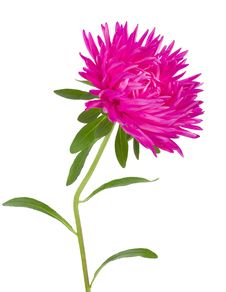 Pink Aster Flower Stock Images