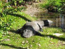 Free Large Florida Aligator Stock Photography - 21156182