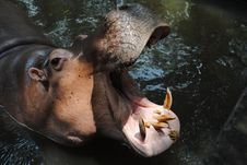 Free HIPPO Royalty Free Stock Photo - 21157405