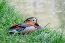Free Mandarin Male Duck Royalty Free Stock Images - 21157549