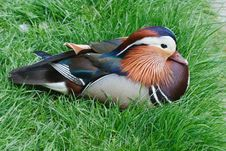 Free Mandarin Male Duck Stock Images - 21157574