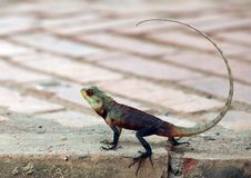 Reptile Owner At Sri Lanka Hotels Royalty Free Stock Image