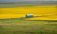 Free Yellow Rapeseed Field Stock Image - 21158441