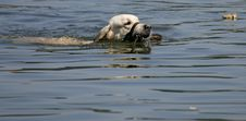 Free Swimming Dog With Ball Stock Photography - 21159052