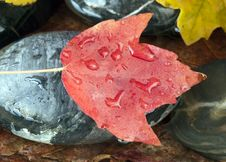Free Maple Leaf On Rock Stock Photography - 21159622