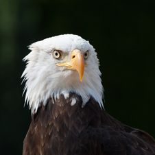 Free American Eagle Royalty Free Stock Photos - 21159758
