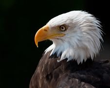 Free American Eagle Stock Photos - 21159773