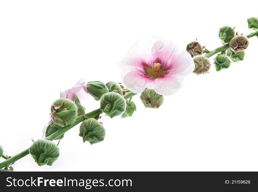 Mallow isolated on white