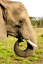 Free Elephant Close Up Stock Photography - 21160582