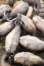 Free Buffalo Stock Photo - 21162840