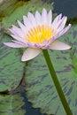 Free Close-up Of Beautiful Pink Lotus Stock Photo - 21163180