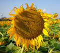 Free Withered Sunflower Stock Photos - 21164833