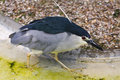 Free Black Crowned Night Heron Royalty Free Stock Photos - 21165668
