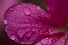Free Water Drop On A Flower Petal Stock Images - 21160134