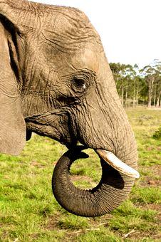 Free Elephant Close Up Stock Photography - 21160582