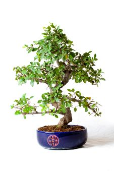Free Elm Bonsai Stock Photo - 21160750