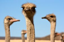 Ostrich Close Up Royalty Free Stock Photos