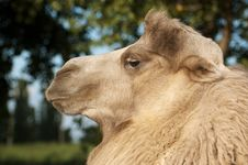 Portrait Of A Camel Closeup Royalty Free Stock Image
