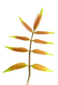 Free Green Leaf Royalty Free Stock Photo - 21162145