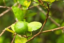 Lime On Tree Royalty Free Stock Images