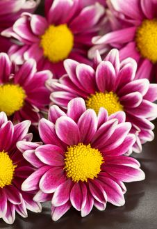 Chrysanthemums Pink Flower Royalty Free Stock Photo