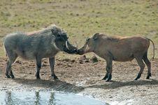 Free Kissing Warthogs Stock Photo - 21163160