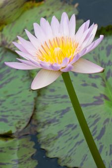 Free Close-up Of Beautiful Pink Lotus Stock Photo - 21163180