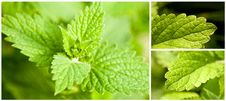 Free Mint Leaves Stock Photo - 21163350