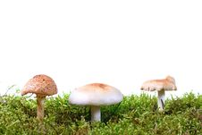 Free Three Toadstools In Green Moss Stock Photos - 21164153